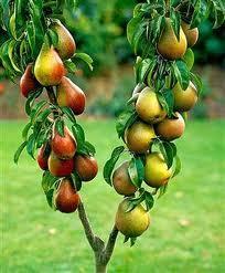 appelboompje